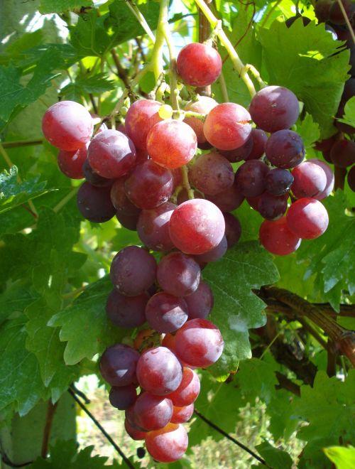 Червено грозде, сорт Кардинал