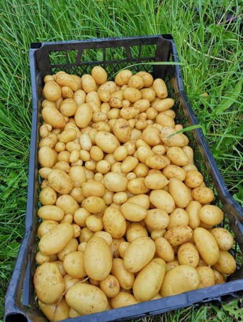 Картофи, дребни