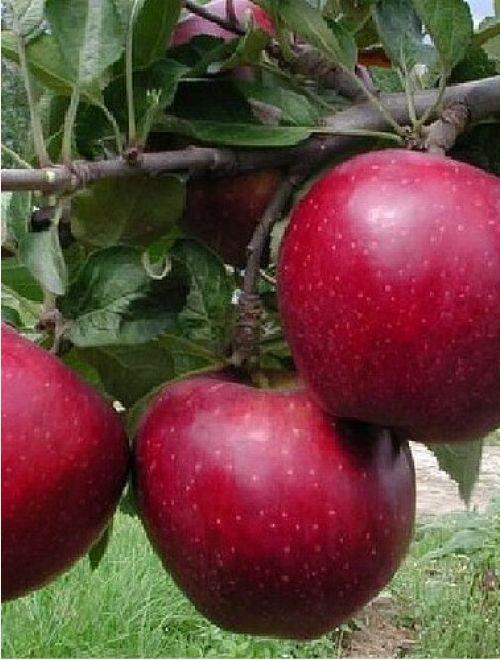 Ябълки, сорт Мелроуз