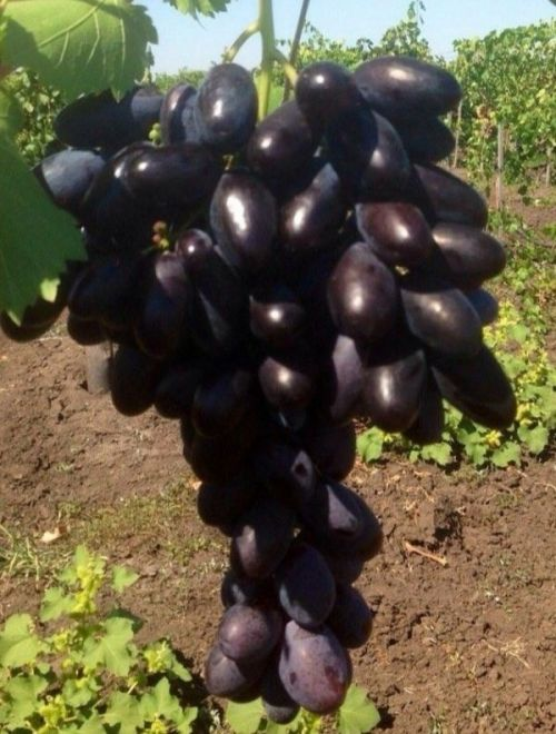Черно грозде, сорт Велика