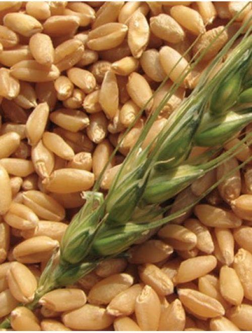 Зърно от лимец