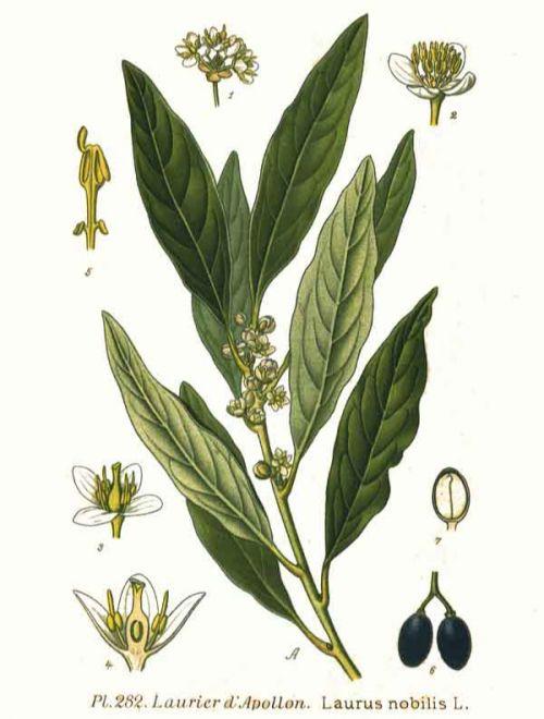 Лавър, Laurus nobilis