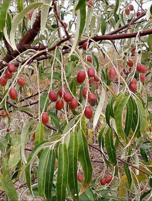 Миризлива върба, Elaeagnus angustifolia