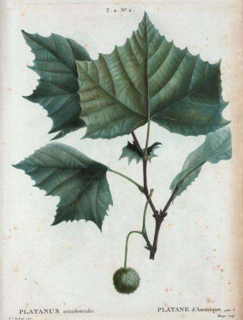 Западeн чинар, Platanus occidentalis