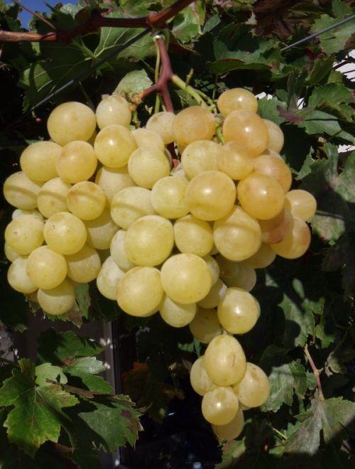 Бяло грозде, сорт Италия