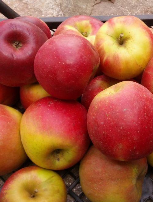 Ябълки, сорт Джона голд