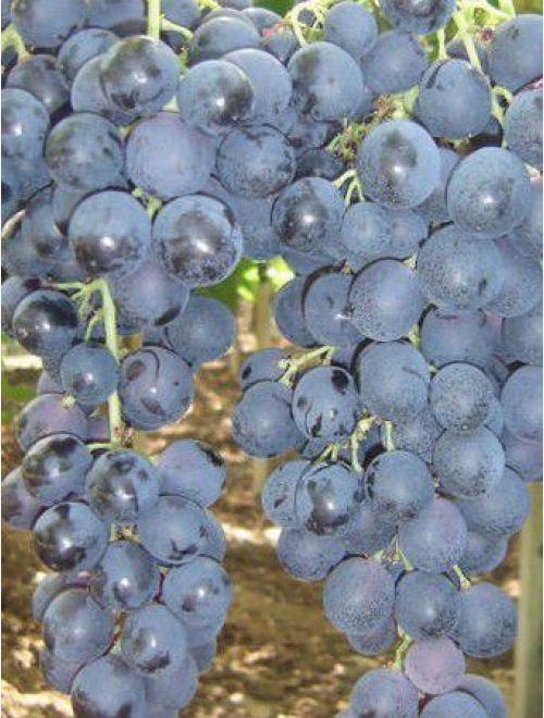 Червено грозде, сорт Палиери