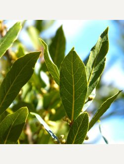 Пресен дафинов лист