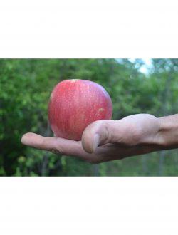 Ябълки, сорт Чадел