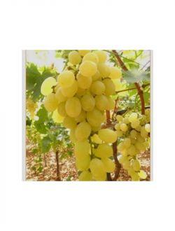 Бяло грозде, сорт Афродита