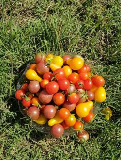 Чери домати, микс