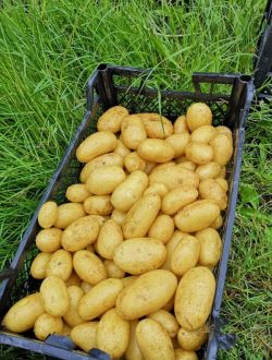 Пресни картофи, едри