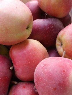 Ябълки, сорт Глостър