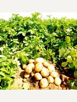 Жълти картофи