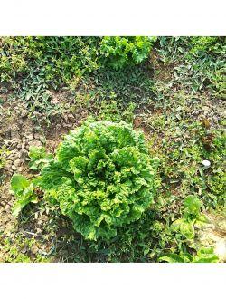 Зелена салата, био