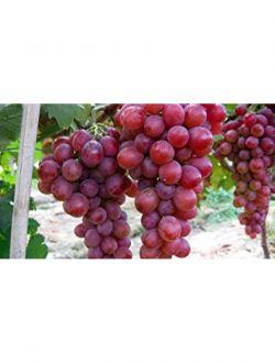 Червено грозде, сорт Дунав