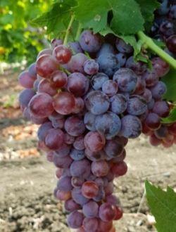 Червено грозде, сорт Кралски рубин