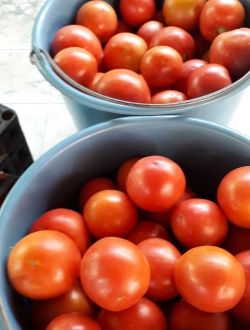 АКЦИЯ - Био розов домат, сорт Торбей