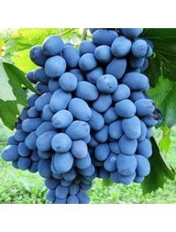 Червено грозде, сорт Блек Пърл